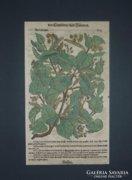 Antik színezett fametszet 17 sz., Tabernaemontanus, 1625