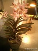Mű növény  Orchidea antik kő kaspóban