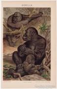 Gorilla, 1896, Pallas színes nyomat, antik, eredeti