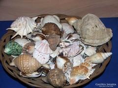 Nagy halom kagyló és csigaház