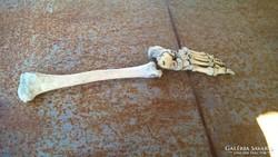 Régi lábszárcsont, preparált oktatási célú + koponya